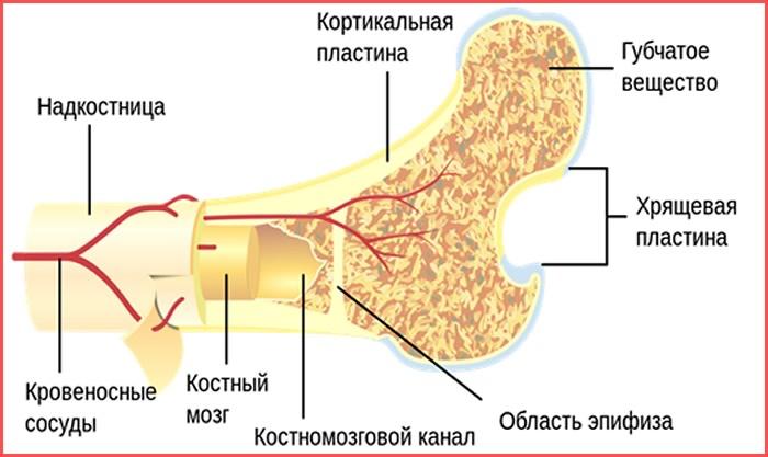 Строение костей