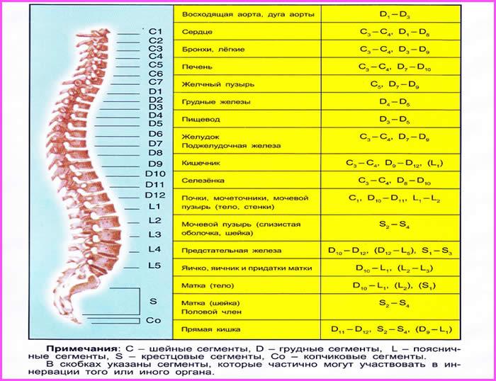 tablica vnutrennih organov