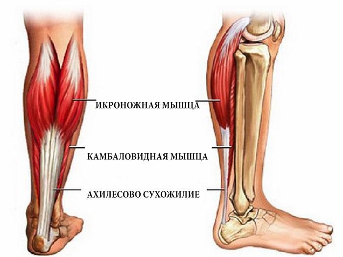 Анатомическое строение нижней части ноги