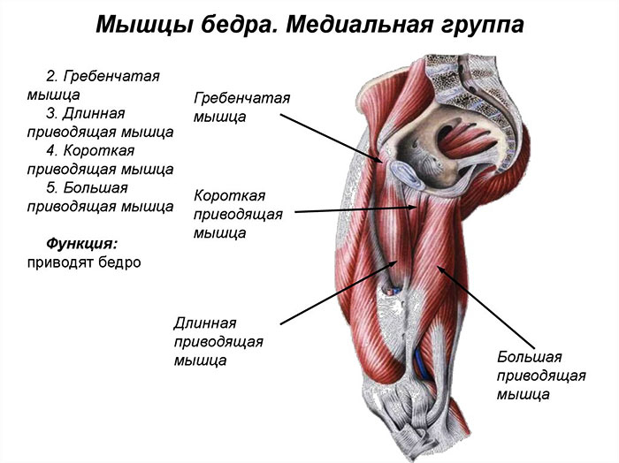 Медиальная группа бедренных мышц