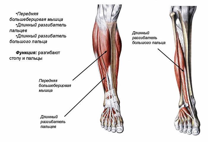Передняя группа мышц голени