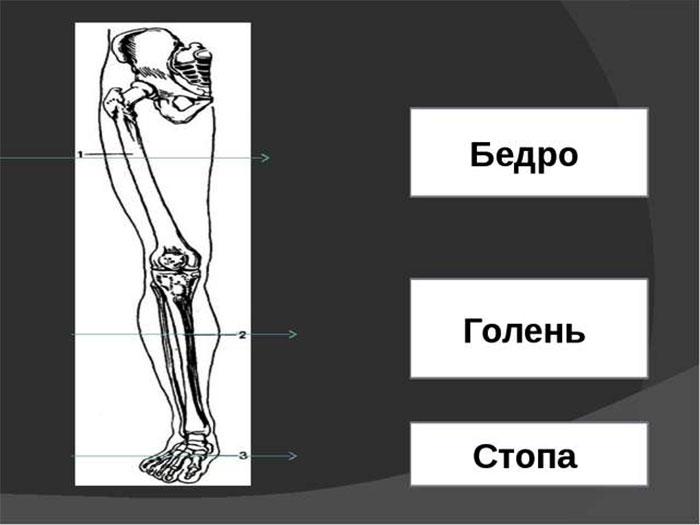Строение ноги человека