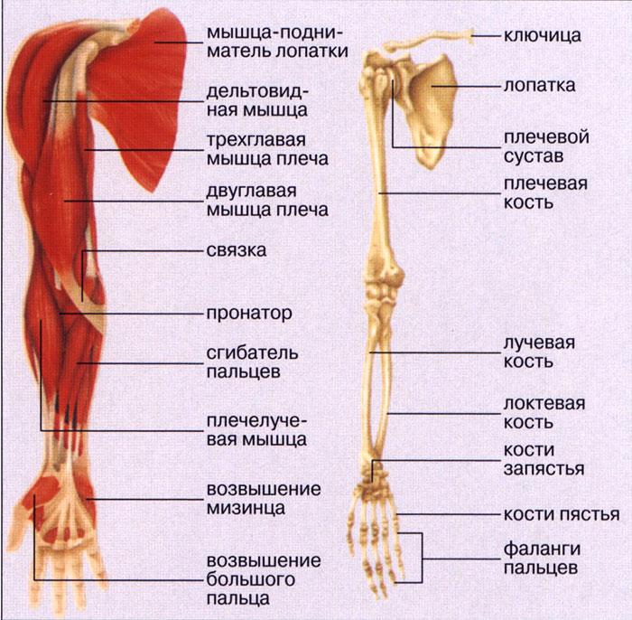 Анатомическое строение руки