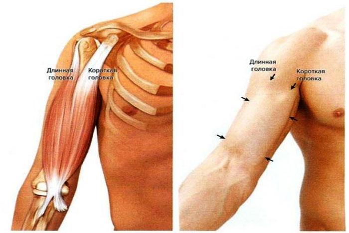Двуглавая мышца – бицепс