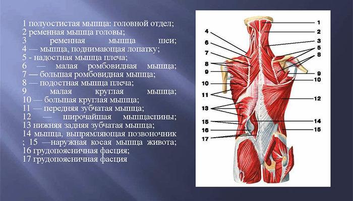 Расположение глубоких мышц спины