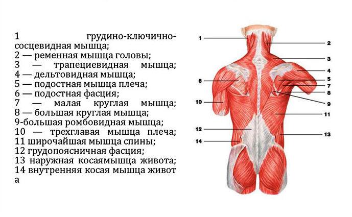 Расположение поверхностных мышц спины