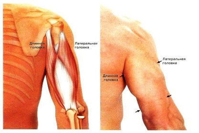 Трехглавая мышца – трицепс