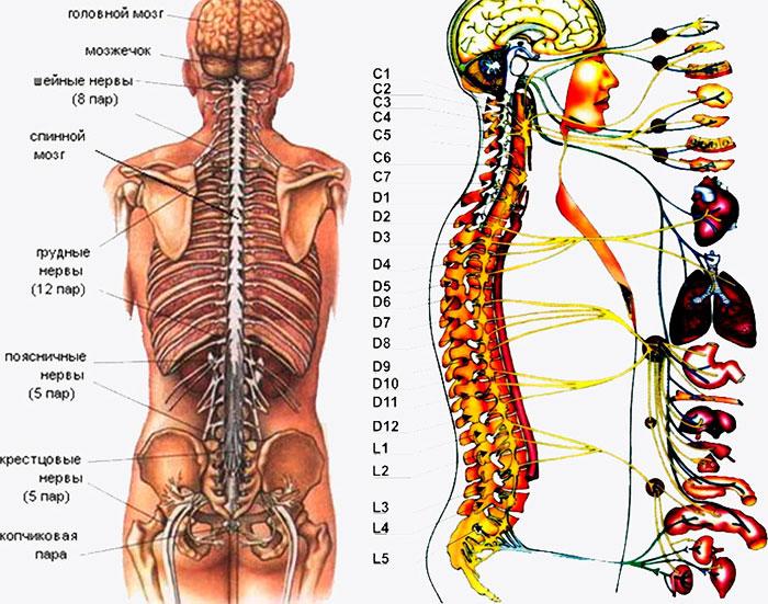 Связь спинномозговых нервов с органами