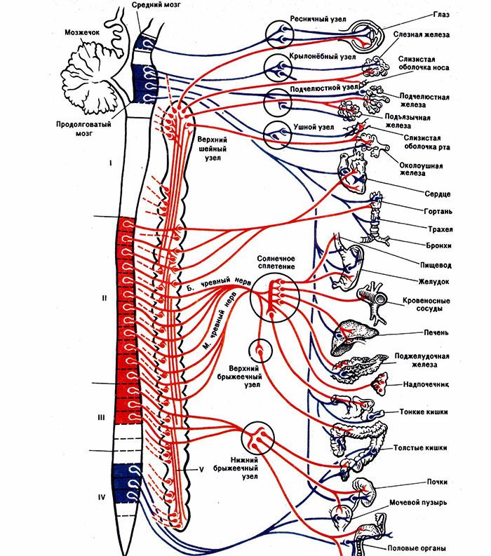 Взаимосвязь спинного мозга с системами организма