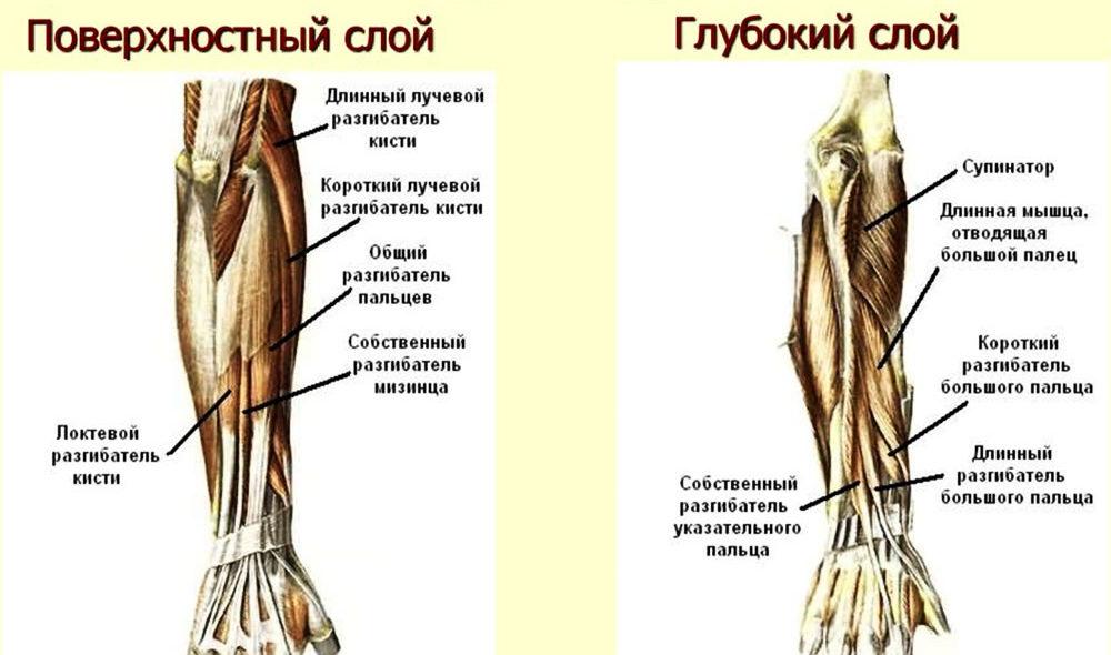 Задняя группа мышц предплечья