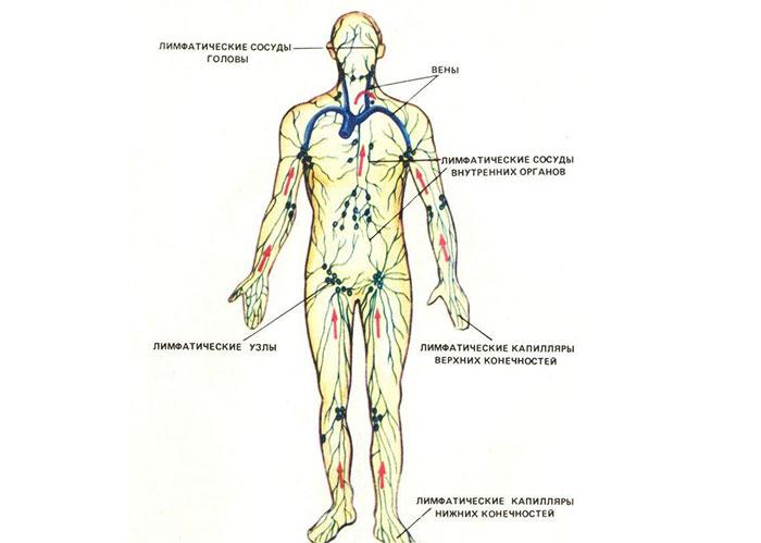 Анатомическое строение лимфатической системы