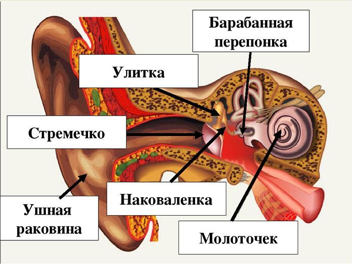 Анатомическое строение органа слуха