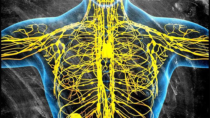 Система лимфатических капилляров и сосудов