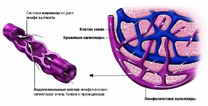Лимфатические капилляры
