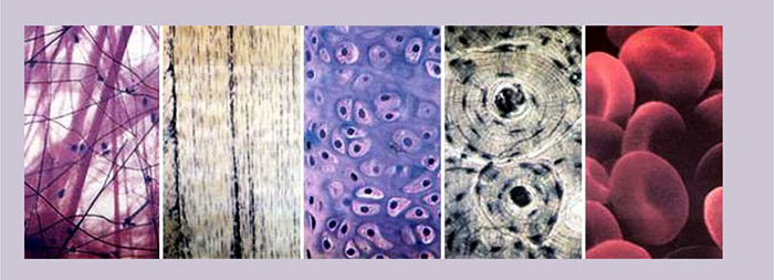 Виды соединительных тканей