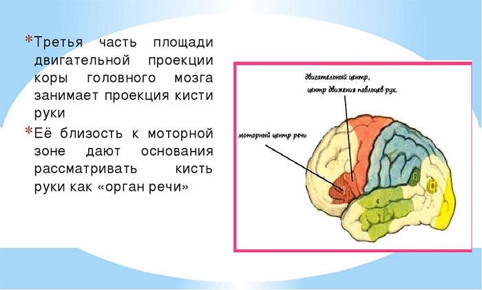 Двигательная проекция руки в мозге