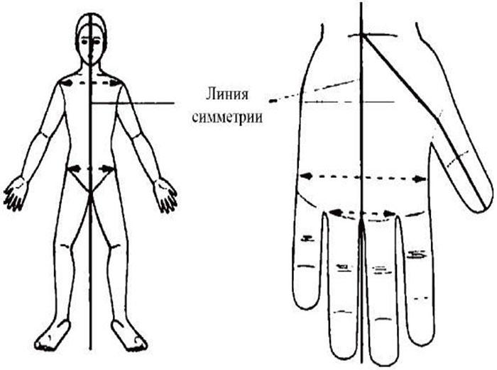 Линии симметрии на теле человека