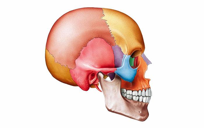Строение черепа человека