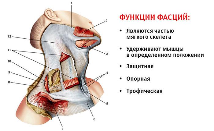 Строение и функции фасций шеи