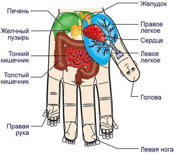 Взаимосвязь внутренних органов с зонами на ладони
