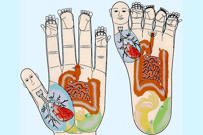Зоны соответствия внутренним органам