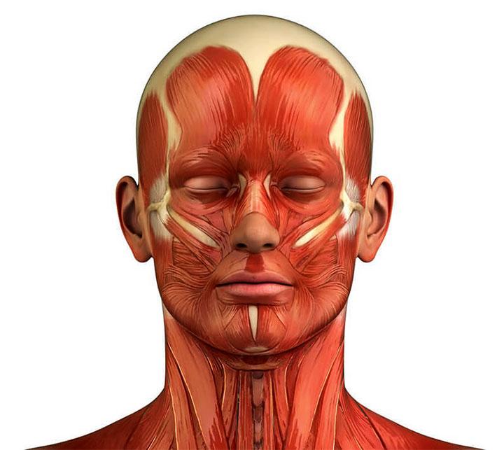 Мышцы лица и шеи