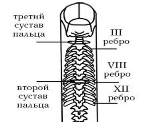 Проекция позвоночного столба на палец руки