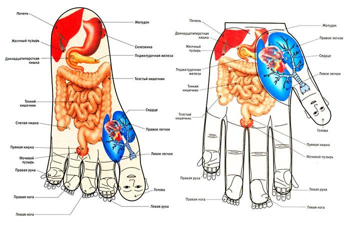 Соответствие внутренних органов и зон на ладони и ступне