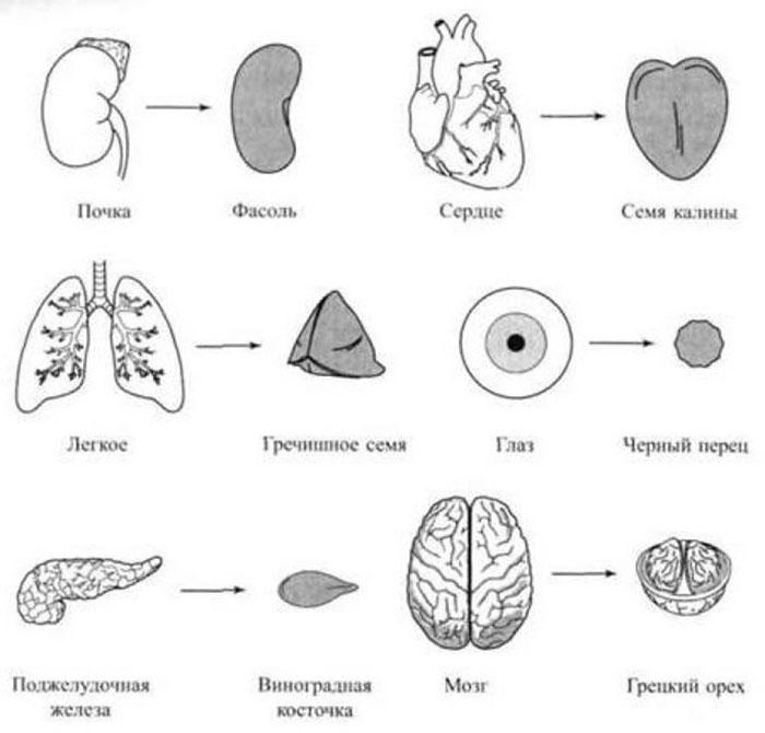 Соответствие внутренних органов семенам ростений